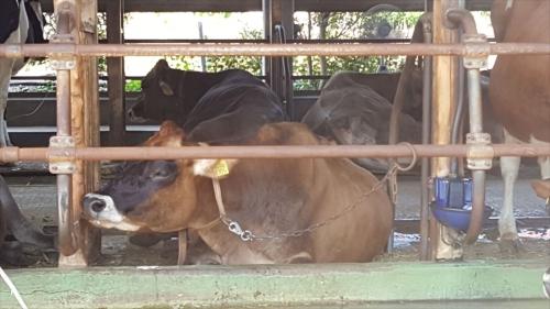 飯田牧場ジャージー牛
