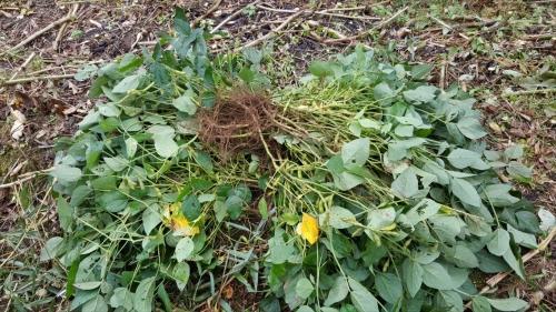 枝豆収穫祭_収穫した枝豆