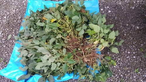 枝豆収穫祭_収穫した枝豆2