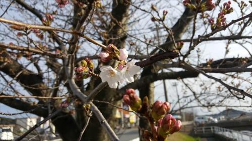 木更津の桜_20170402_1