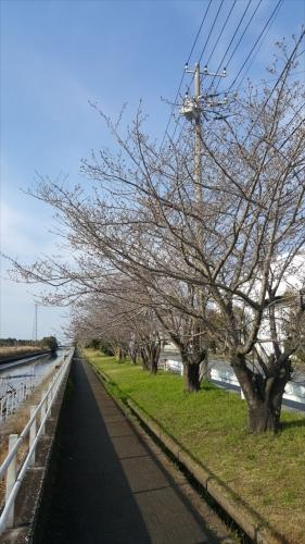 木更津の桜_20170402_3