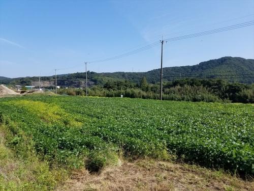 枝豆収穫祭2017_収穫前の畑