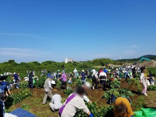 枝豆収穫祭2017_収穫風景