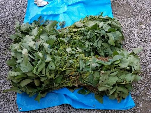 枝豆収穫祭2017_収穫した枝豆2