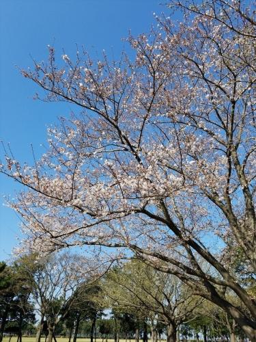 潮浜公園桜_20810325_2