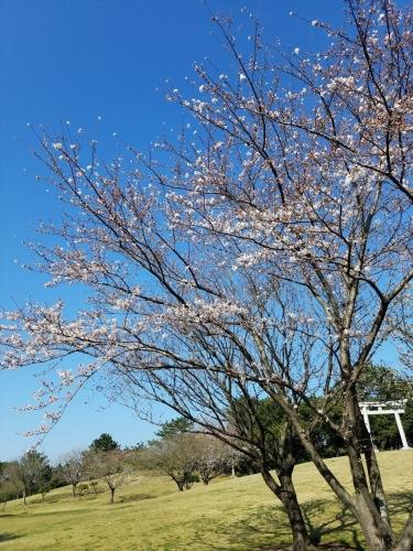潮浜公園桜_20180325