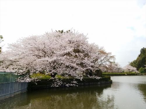 袖ケ浦公園桜2018033002