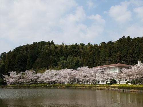 袖ケ浦公園桜と菜の花20180330