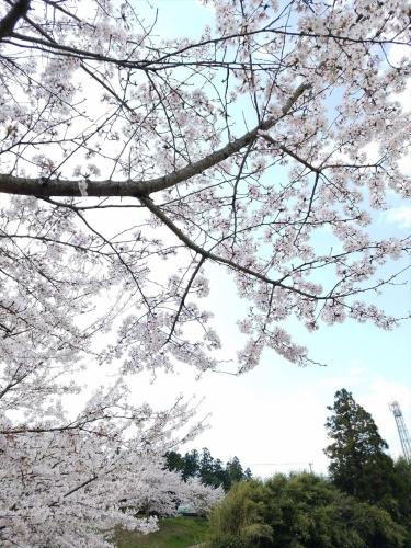 光福堰_桜