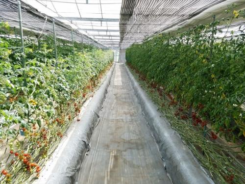 いんどうファーム_トマト畑