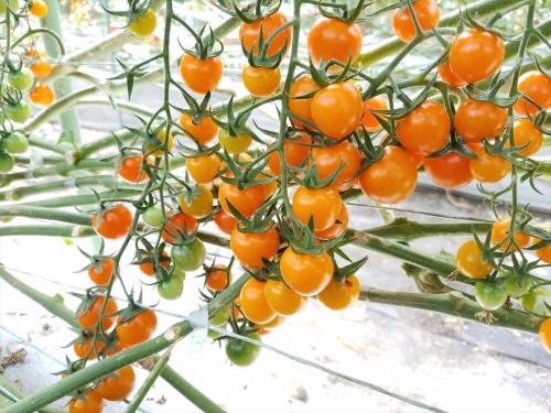 いんどうファーム_オレンジで丸いトマト
