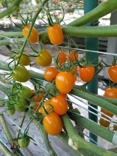 いんどうファーム_オレンジで長いトマト