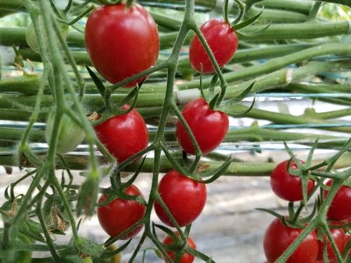 いんどうファーム_赤くて長いトマト