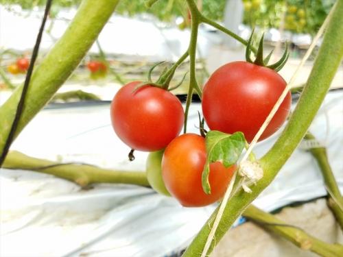 カズサとまとガーデン_実ったトマト