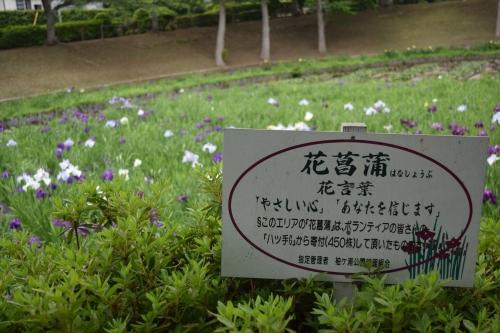袖ケ浦公園_花菖蒲花言葉