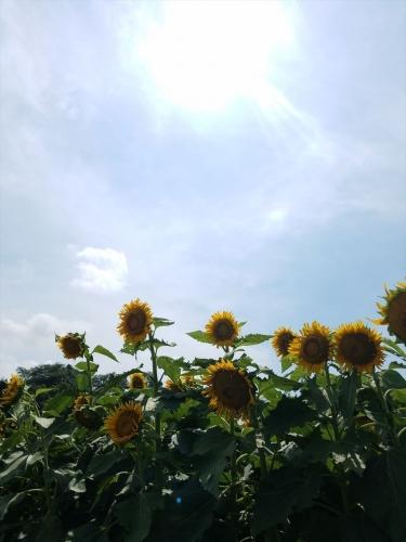 愛彩畑_太陽とひまわり